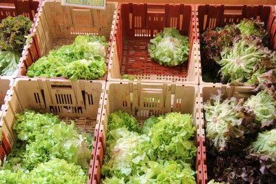 Выращивание салата на грядке, в теплице и на окошке.