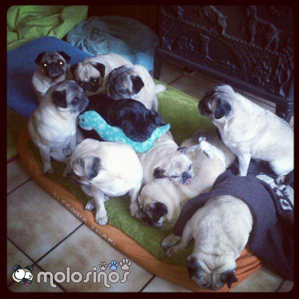 Hola, somos Mopsy, Queenie, Guapo, Lola, Diva, Nala, Candy, Pinky, Buddha, Bibi y Droopy Jr. Todos tenemos una historia muy triste... pero ahora estamos muy felices con nuestra mami loca... #carlino #carlinos #pug #pugs #molosinos
