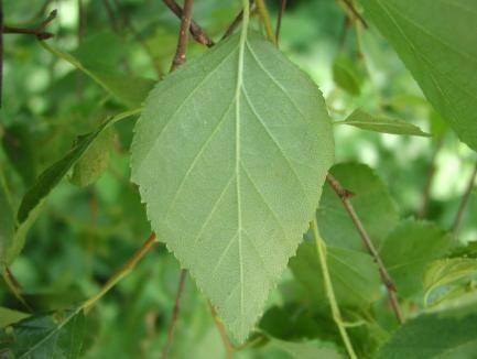 Betula pubescens (white birch)