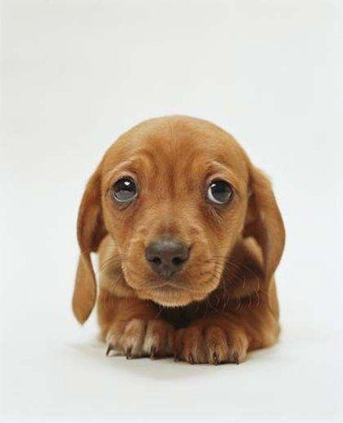 Weiner dogs!Dachshund Puppies, Puppies Dogs Eye, Puppies Eye, Weiner Dogs, Puppy'S, Wiener Dogs, Puppy Eyes, Puppies Face, Animal