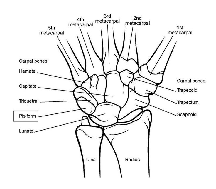 Wrist Joint Anatomy: Overview, Gross Anatomy, Natural Variants
