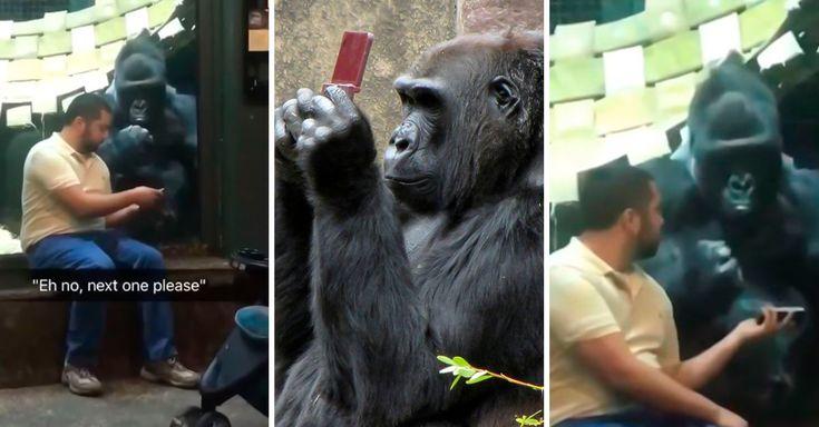 Un raro video fue captado en el zoológico de Louisville, donde se ve a un hombre mostrándole fotos de hembras a un gorila, aunque no eligió ninguna