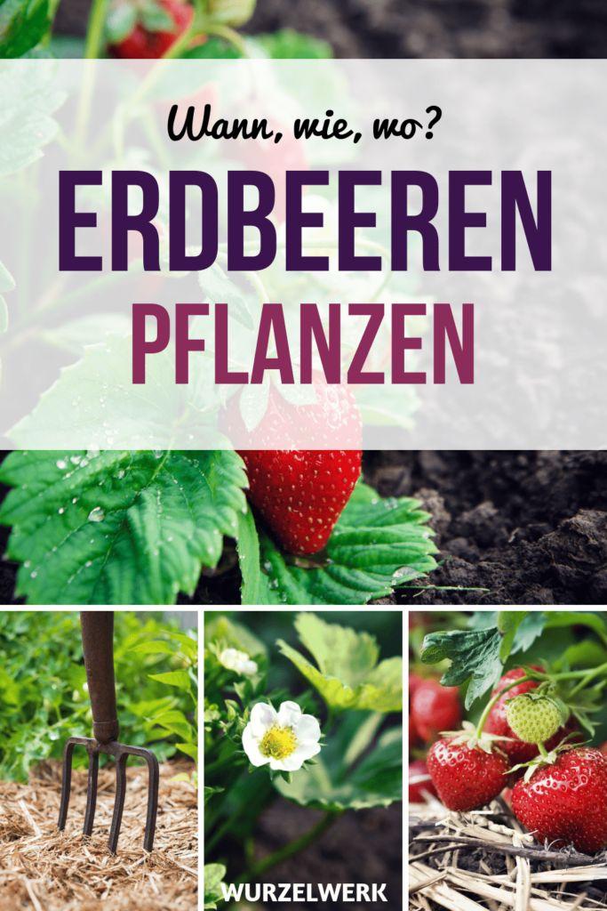 Der komplette Erdbeer-Guide: Erdbeeren pflanzen, anbauen und ernten – Wurzelwerk: Gemüsegarten-Tipps!