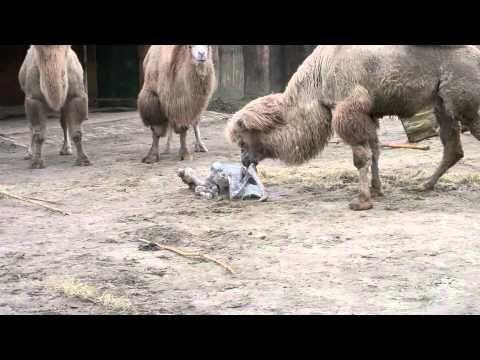 Geboorte kameel - YouTube