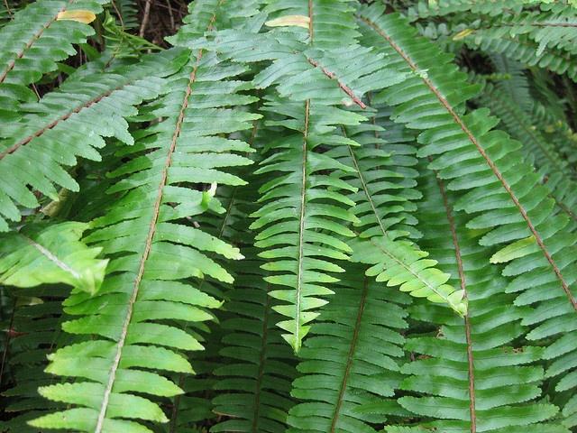 The boston fern nephrolepis exaltata bostoniensis - Nephrolepis exaltata ...