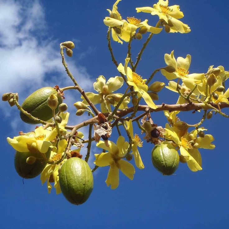 This small native tree has the most beautiful yellow flowers which appear in the dry season as the plant loses its leaves. The flowers develop into green capsules then harden and turn brown. The capsules split open to release a cotton wool-like material called kapok.  #kapokbush #Kakadu #nationalparks #nature #wild #Australia