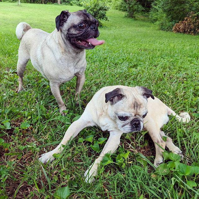 Two All American Pugs Enjoying Their New Yard