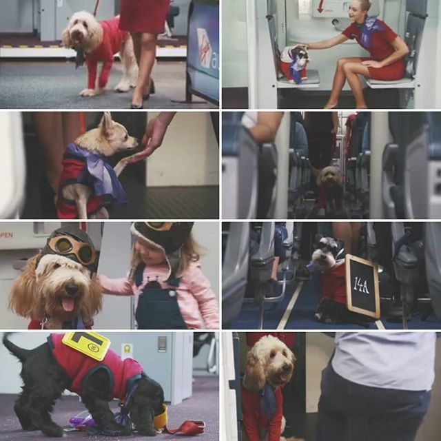 "For @VirginAustralia's contribution to #AprilFoolsDay, they've unleash ""Virgin Australia Canine Crew"". . ""On select flights, a Canine Crew member will work alongside our award-winning Cabin Crew team to offer a range of additional services."" . Video on th"