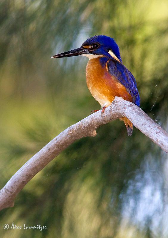 Australian Azure Kingfisher