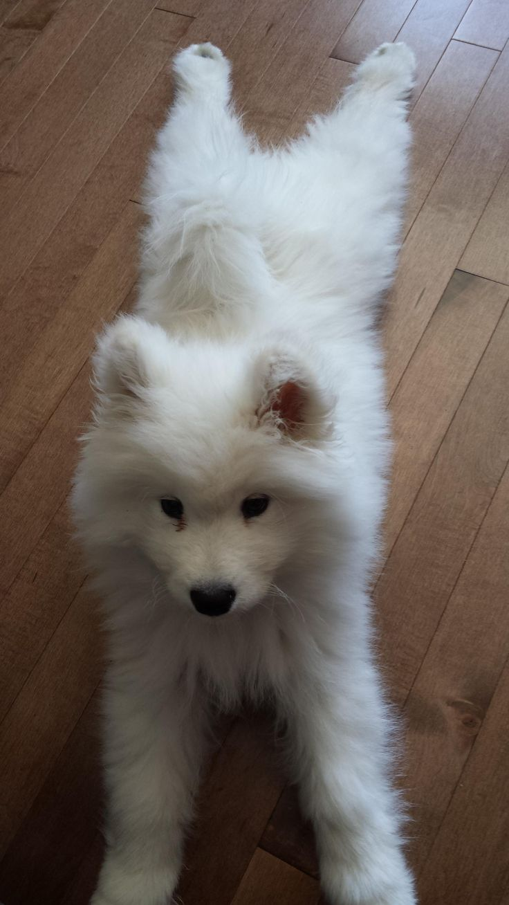 Meet Skye the baby Samoyed who loves keeping cool! @KaufmannsPuppy