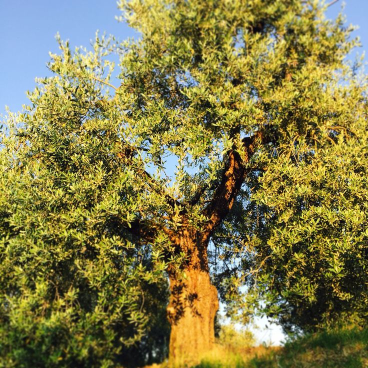 Vanha oliivipuu
