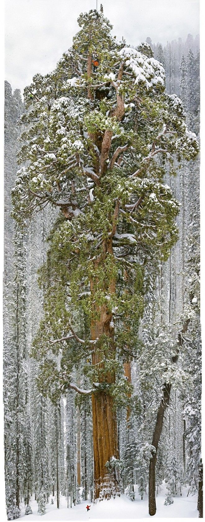 3,200 Year Old Tree Is So Massive It's Never Been Captured In A Single Image. Until Now. THE MIND UNLEASHED