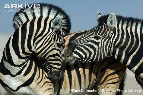 Close-up of plains zebra social interaction.