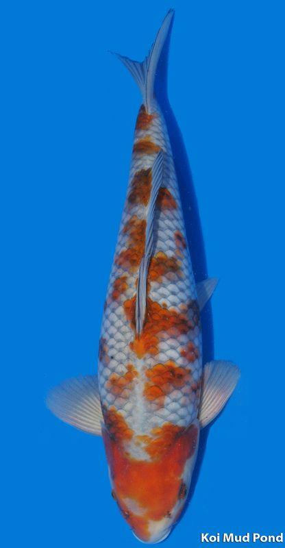 89 best koi images on pinterest koi carp japanese koi for Ochiba koi fish