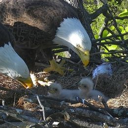 DC Eagle Cam • LIVE Bald Eagle Nest Cam, photo 1
