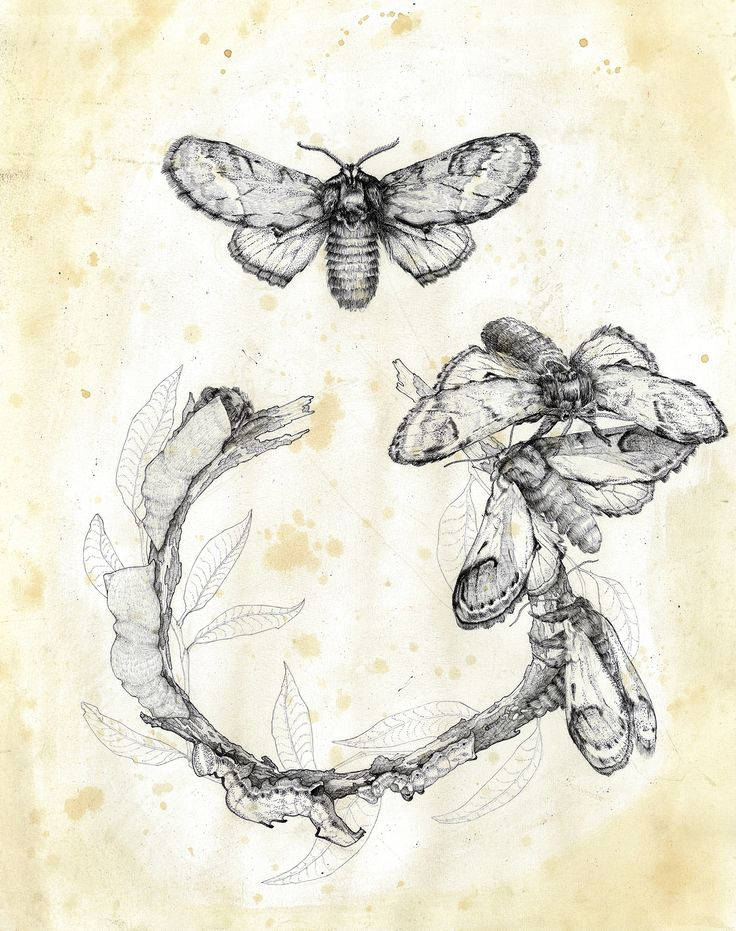 illustration par Sophie Hedon , #papillon, #cycle, #vie, #sphinx, fleur intestinale, https://www.facebook.com/fleurintestinale