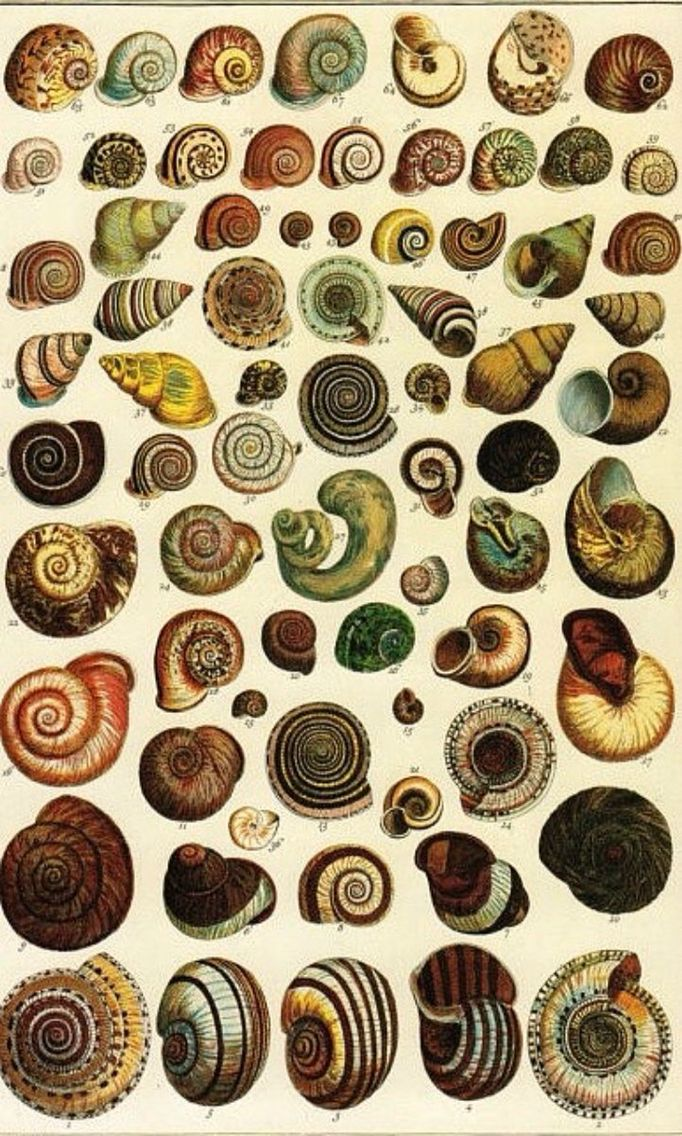 Nerites shells illustration from the Albertus Seba Cabinet of Natural Curiousities, commissioned in 1731 | Etsy