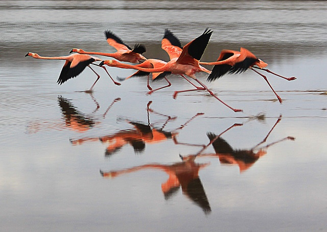 Floreana flamingos, Santa Cruz, Galapagos,