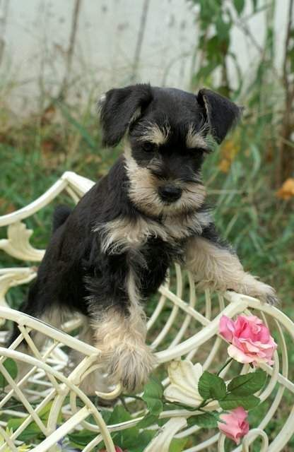 OMG this is the most adorable Miniature Schnauzer puppy I have ever seen✨