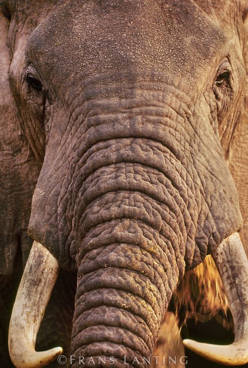 African elephant bull, Loxodonta africana, Masai Mara Reserve, Kenya