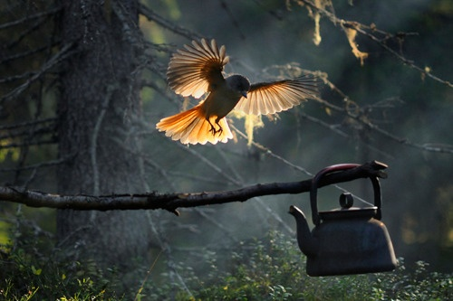 Kuukkeli is friend of wandrarer, it is also Kainuus provincial bird.   photo by Kari Leo