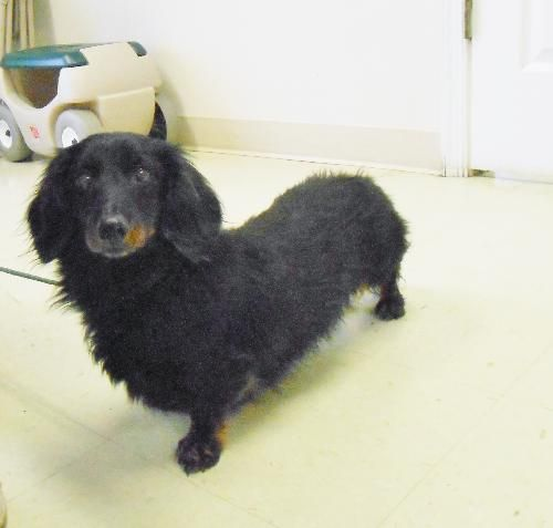 Long haired dachshund rescue michigan