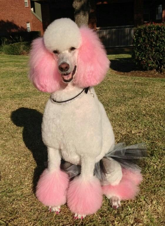 "-Repinned- ""Paris"" the poodle in her tutu."