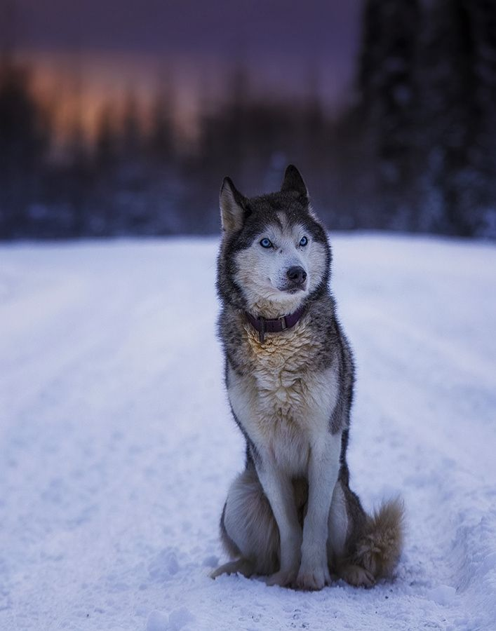Best Musher Images On Pinterest Siberian Huskies Snow Dogs - Guy quits his job to go on epic adventures with his husky