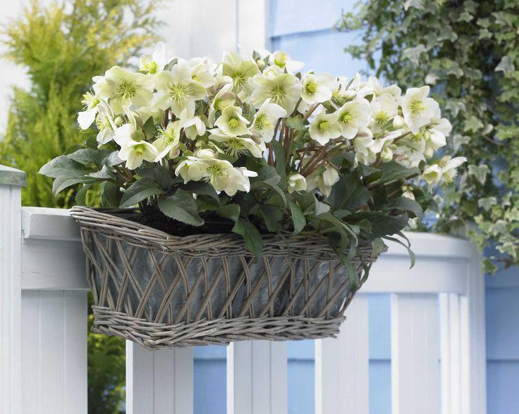 Inspirational Die Christrose macht sich auch am Zaun h ngend ganz bezaubernd christrose pflanzenfreude