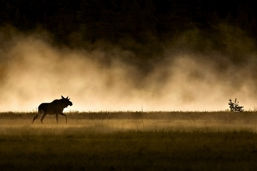 Moose and the fog. Wow!