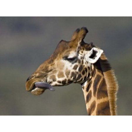 Close-up of a Rothschilds giraffe Lake Nakuru Kenya (Giraffa camelopardalis rothschildi) Canvas Art - Panoramic Images (24 x 19)