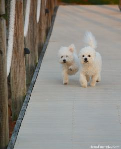 Bichon Frise – Home is Where the Boat Is