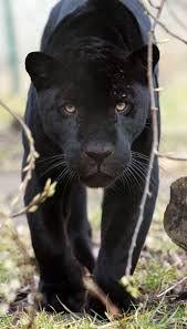 Bildresultat för svart jaguar