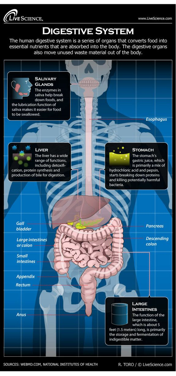 Diagram of the Human Digestive System (Infographic)