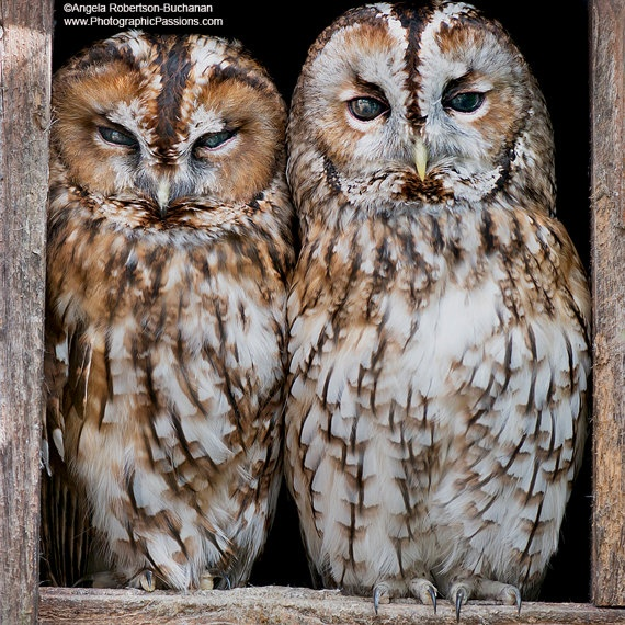 2 Tawny Owls looking out from their nest by photographicpassions, $40.00