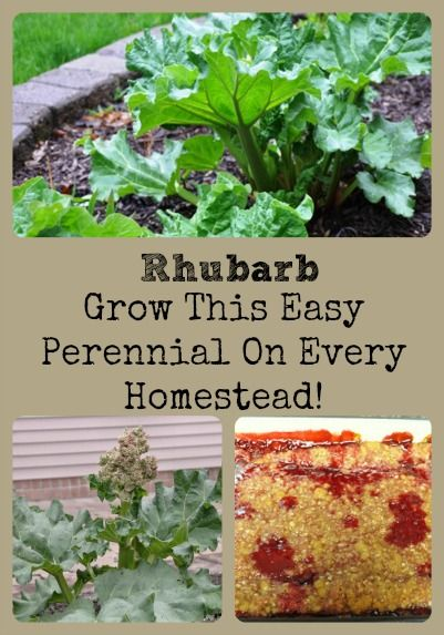 Rhubarb, How To Grow This Easy Perennial For Every Homestead via Better Hens and Gardens
