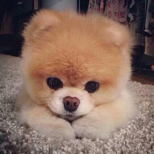 Pomeranian Teddy Bear Dog