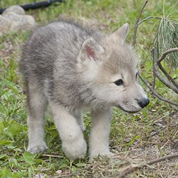 International Wolf Center's wolf pup naming contest The International Wolf Center needs your help selecting the names of their two new Arctic wolf pups! They narrowed the over 1,900 entries down to...