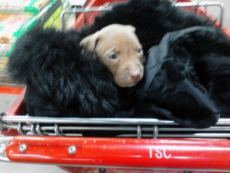 Brandy is bundled up in my coat in, the shopping cart. 4 weeks old!