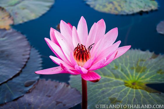 One of a million flowers in the Red Lotus Sea in Udon Thani, Thailand.  | Tieland to Thailand