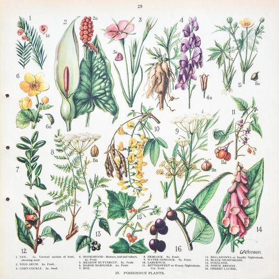 Vintage 1930's British School Poster: Poisonous Plants