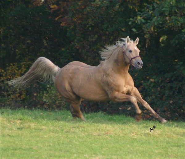 Leo Sugar Bars Quarter Horses For Sale Stallions Garrison   Tattoo ...