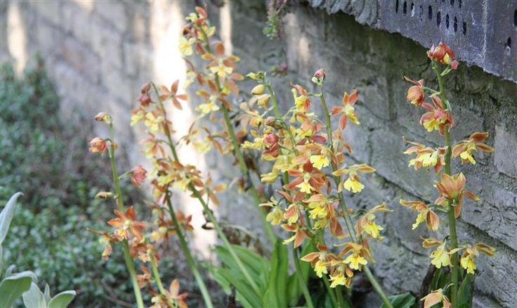 I planted one Calanthe plant of Garden Orchid in my garden, after a few years they have become this big. LOVE IT ©Anthura