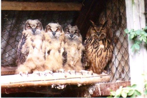 """Vogelkunde: Brüten im Schutz des Nestes (Foto ( Jürgensen ) : Uhu-Familie, Brutbeginn ab 1. Ei, mit einem """"Orgelpfeifen-Effekt"""")"""