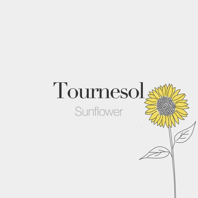 Tournesol (masculine word) | Sunflower | /tuʁ.nə.sɔl/