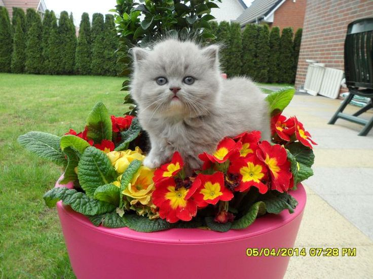 Britisch Kitten BKH/BLH