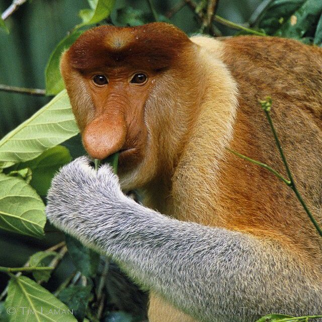 Photo by @TimLaman shot on assignment for @NatGeo in Borneo.  A male Proboscis Monkey feeding on leaves along a river in Borneo, gets his name from his giant nose.  The main purpose of the nose seems to be to impress females!  Proboscis monkeys are an Endangered Species found only on the island of Borneo, in both the Malaysian and Indonesian parts of the island.  Just another species depending on #rainforest habitat here!  From my archive of past @NatGeo stories.  Follow @TimLaman