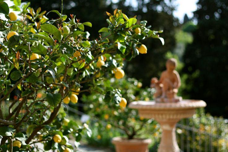 Lemon trees, Tuscany