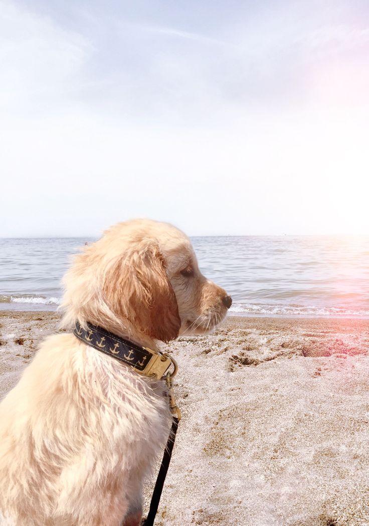 Golden retriever puppy beach dogs golden retriever