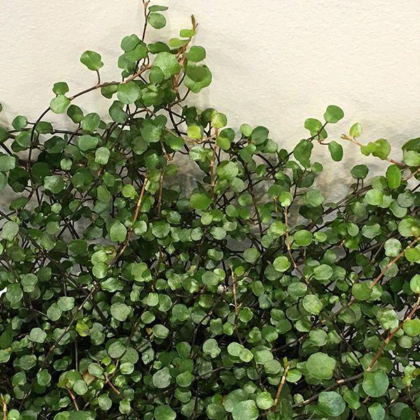 Buy maidenhair vine Muehlenbeckia complexa: Delivery by Crocus